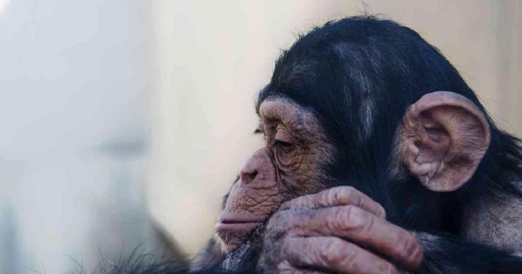 悲しそうな猿