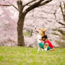 桜を見る犬